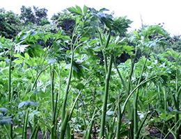 アシタバ 収穫